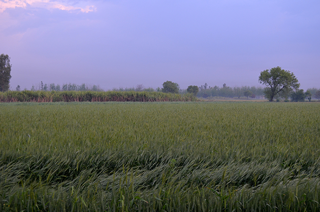 Agricultural Fields of UP
