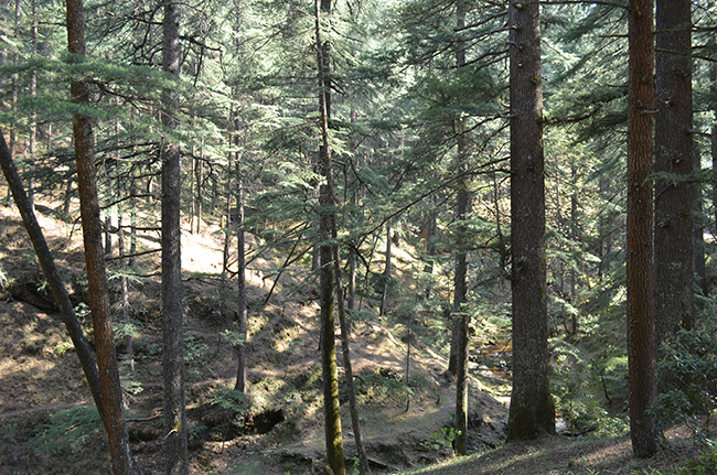 Deodar and Pine Forests