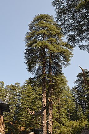 The Tall Deodar Tree