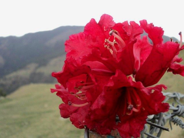 A rhododendron hanging on the fence