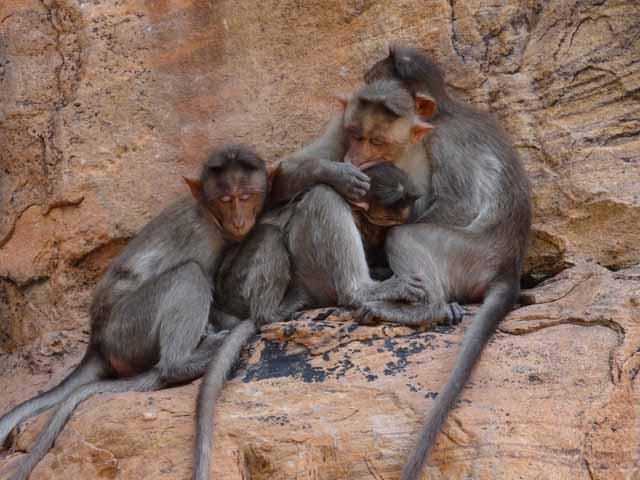 Monkey Family Enjoying Afternoon Siesta