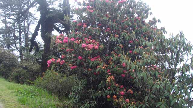 Out of Season Rhododendrons