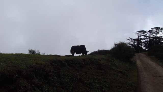 The lone Bull yak