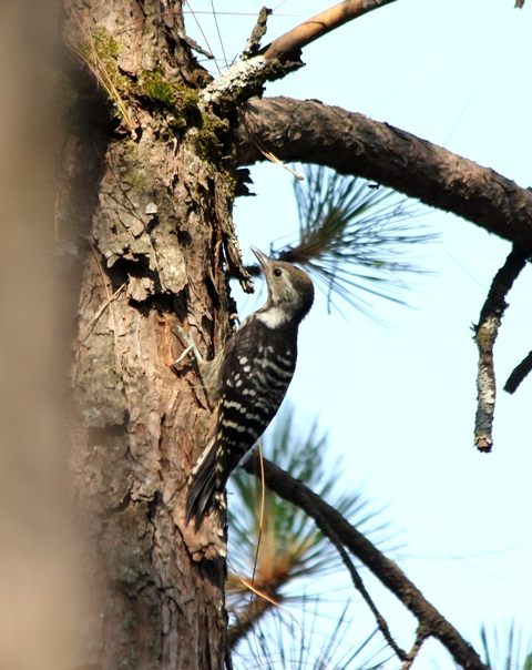 Brown fronted Woodpecker