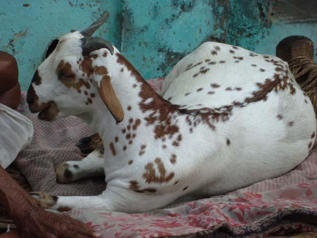 खाट पर आराम के कुछ पल बिताती गोकुल की एक बकरी