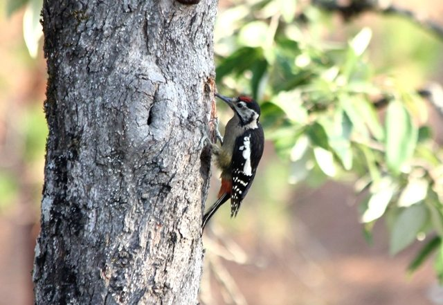 2 Himalayan Woodpecker