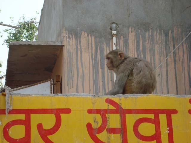 गोकुल मे बंदरों के पीछे