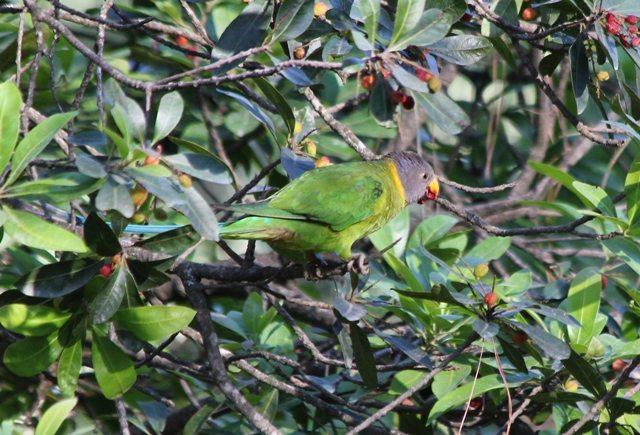 3 Slaty headed Parakeet