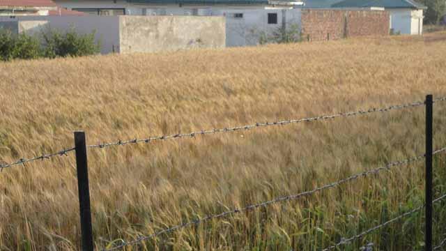 5. कमरे के सामने लहलहाते हुए खेत