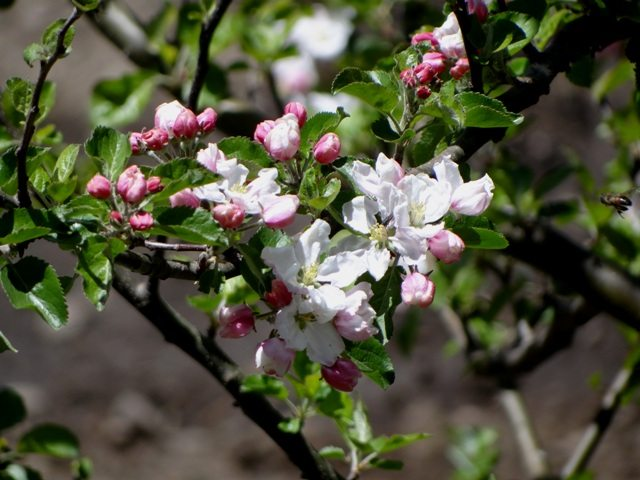 Blossoms of a flowering tree at Mana
