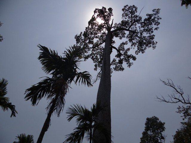 The gigantic trees