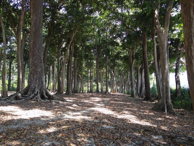 The forest of Andaman Tea