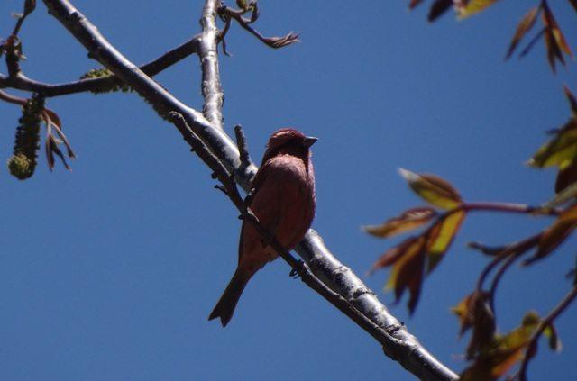 Pink browed Rosefinch