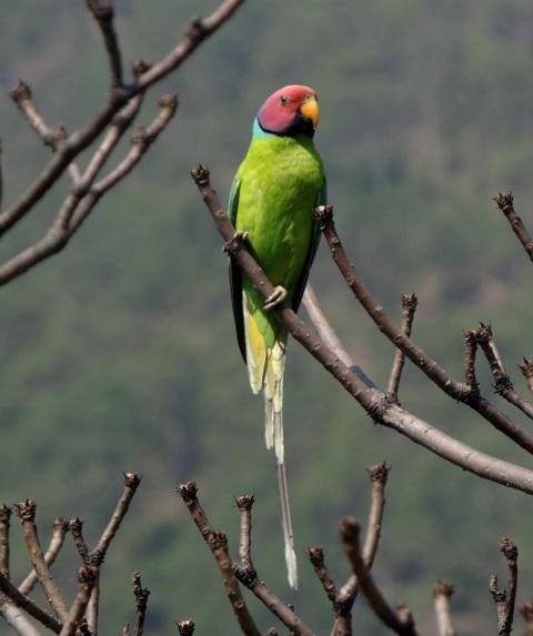 Plum headed Parakeet