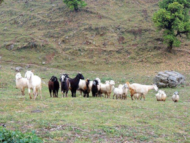 Mountain goats near Taal