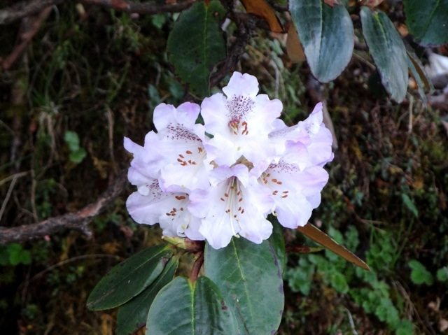A bunch of Rhododendron flowers
