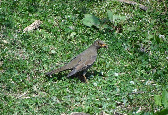 Grey winged Blackbird (f)