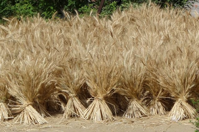 Harvested crop