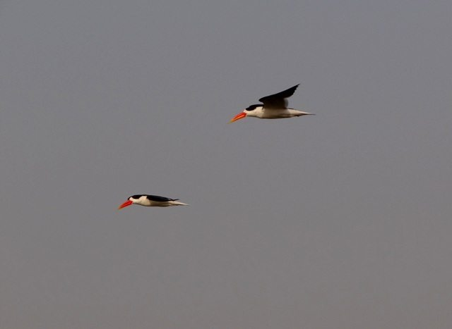 Skimmers in formation flight