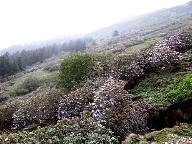 Stunted rhododendron in the higher reaches in full bloom