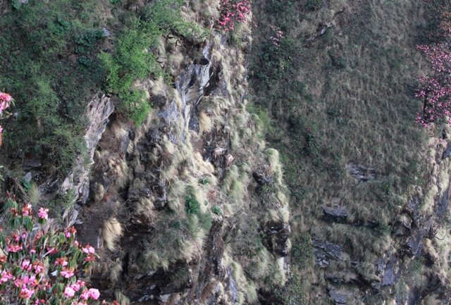 The Himalayan Tahrs are in the centre of the photo... on a  vertical cliff!