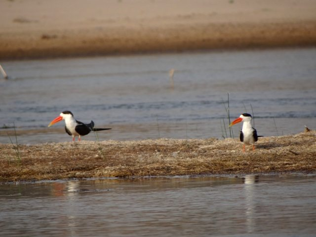 The Indian Skimmers
