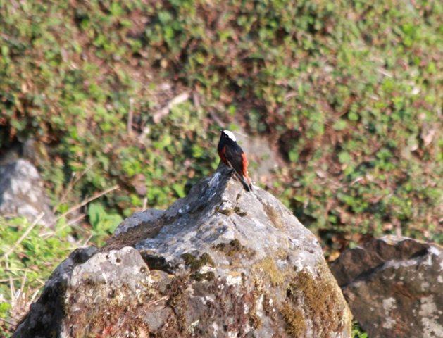 White capped water Redstart
