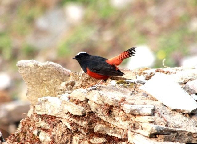 White capped water redstart (2)