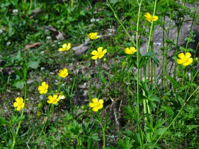 Wild flowers on way to Auli