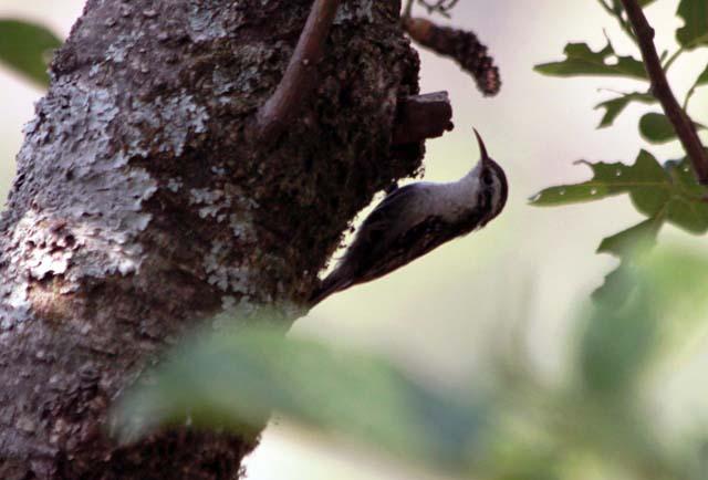 Bartailed Treecreeper