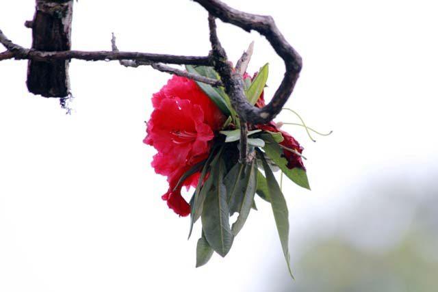 Buran (Rhododendron) flowers