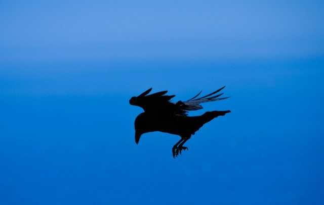 One of the many ravens I met during the hike.