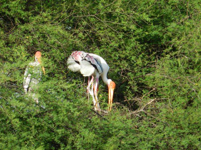 Painted Stork Feeding