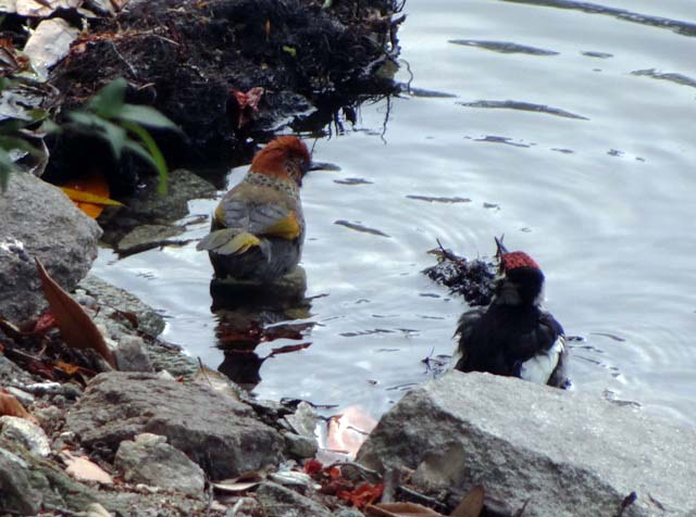 Rufous headed Laughingthrush and Himalayan Woodpecker bathing