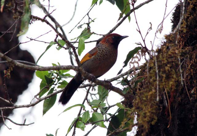 Rufous headed Laughingthrush1