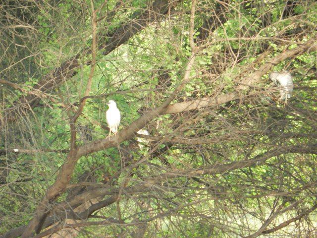 Whistling Doves