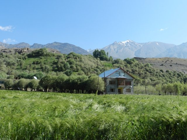 Paddy Field at Drass