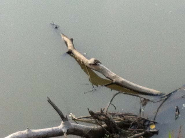 Turtles - There were many of those sun bathing