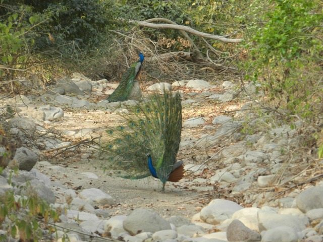 Peacocks in peak