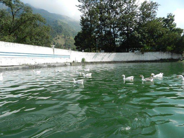 Ducks in Bhimtal
