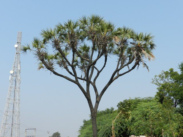 Hokka Tree