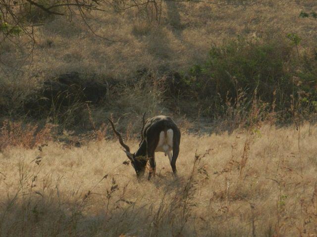Infamous-Black Buck