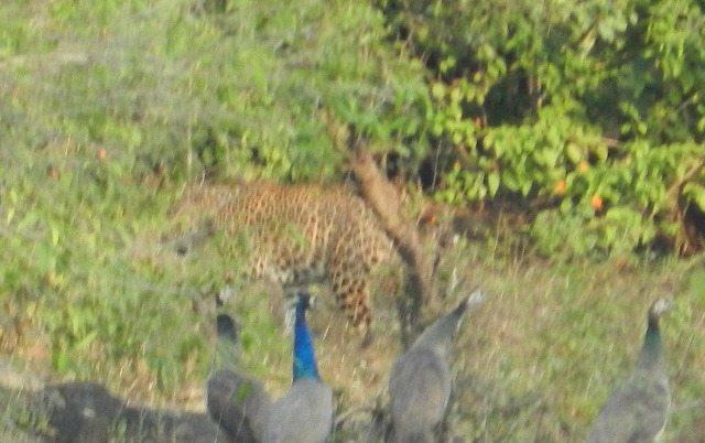 Leopard Shying away