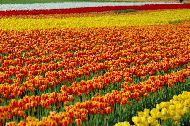 Tulip Garden, Seattle
