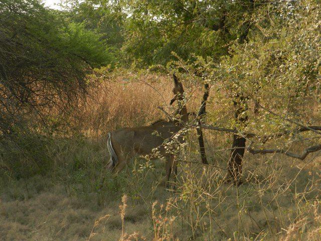 One of many Antelopes