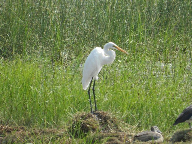 White Crane at Saline Marsh
