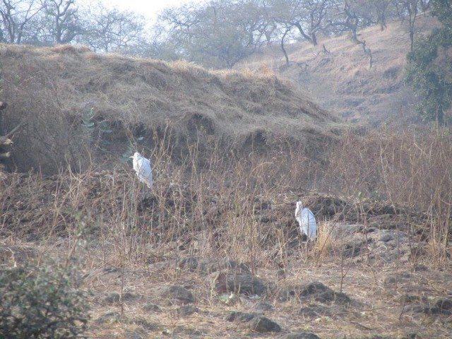 Egret birds perched atop the jungle terrain