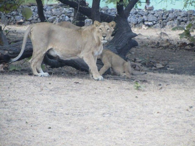 Lioness and cubs in playful mood