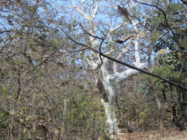 A Gumtree in its full glory