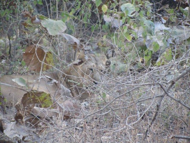 A lioness camouflaged behind a bush